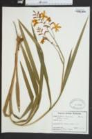 Anticlea elegans image