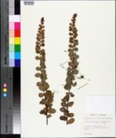 Leptopus phyllanthoides image