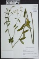 Image of Euphorbia corrollata