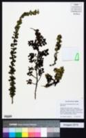 Image of Hesperomeles obtusifolia