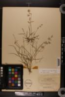 Eragrostis cumingii image