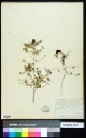 Dalea carthagenensis image