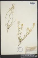 Lesquerella montana image