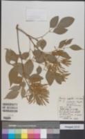Image of Fraxinus griffithii