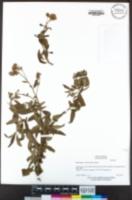 Baccharis salicifolia image