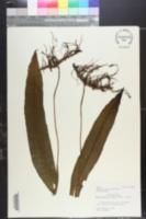 Image of Neocheiropteris ensata