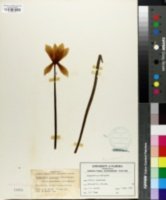 Image of Zephyranthes tubispatha