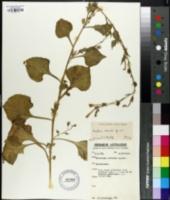 Image of Nicotiana cavicola