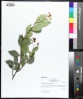 Image of Trachelospermum asiaticum