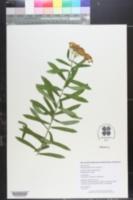 Asclepias tuberosa var. tuberosa image