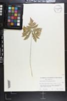Gymnocarpium x brittonianum image