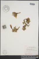 Salix phlebophylla image