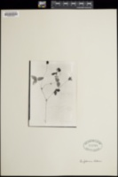 Image of Trifolium aitonii