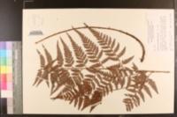 Polystichum adiantiforme image