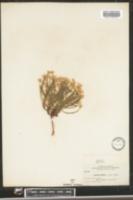 Image of Aster hirtellus
