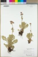 Geum canescens image