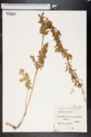 Image of Thalictrum simplex