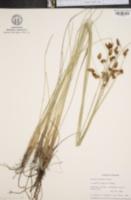 Image of Bolboschoenus robustus