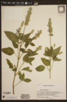 Image of Salvia hispanica