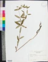 Euphorbia colorata image