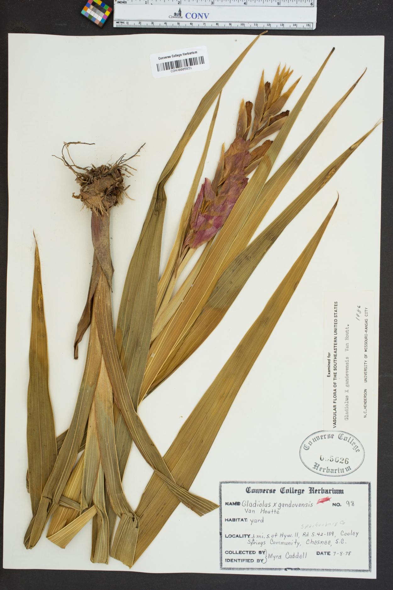 Gladiolus X gandavensis image