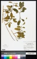 Physalis viscosa image