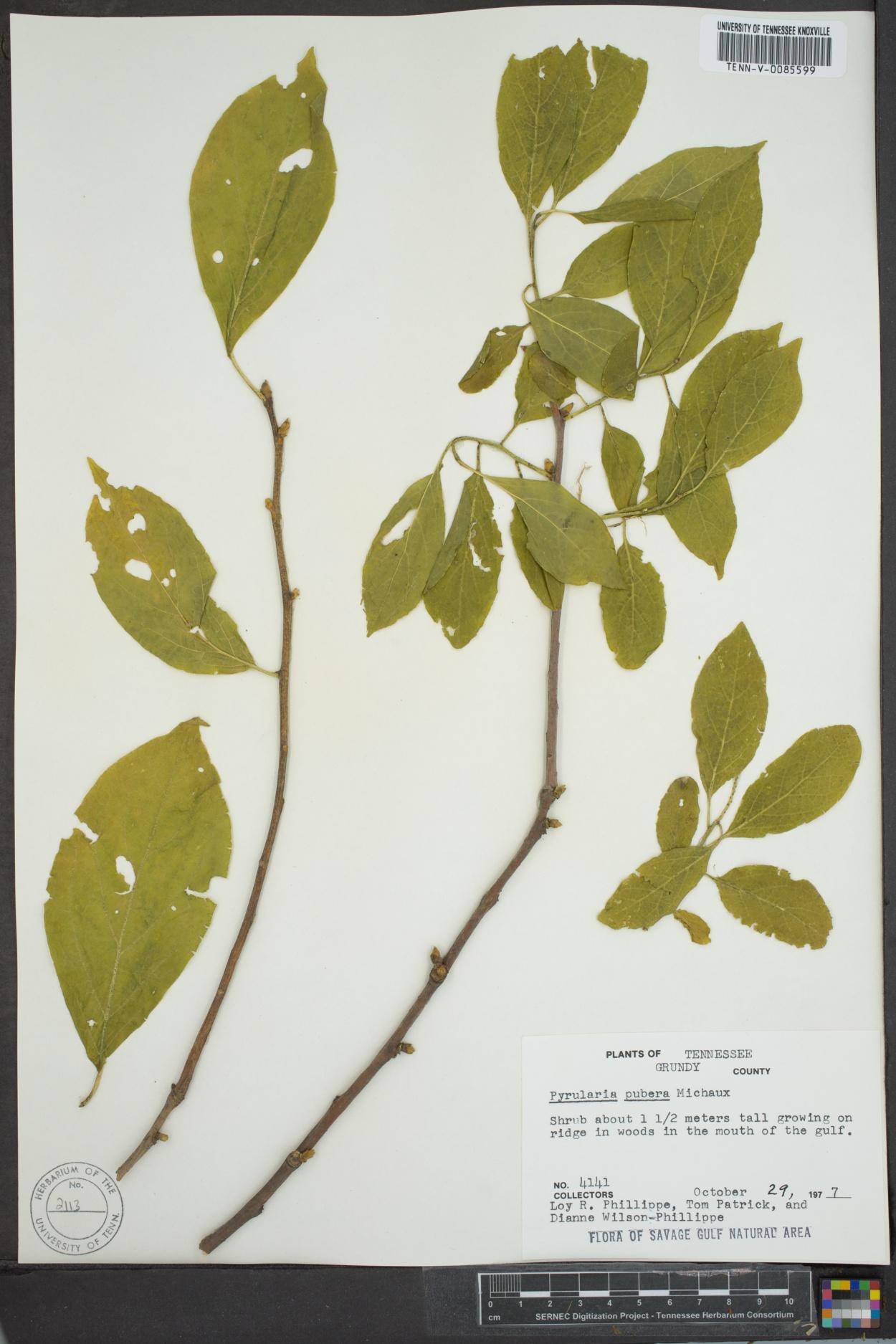 Pyrularia image