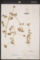 Abronia gracilis image
