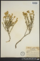 Image of Haplopappus macronema