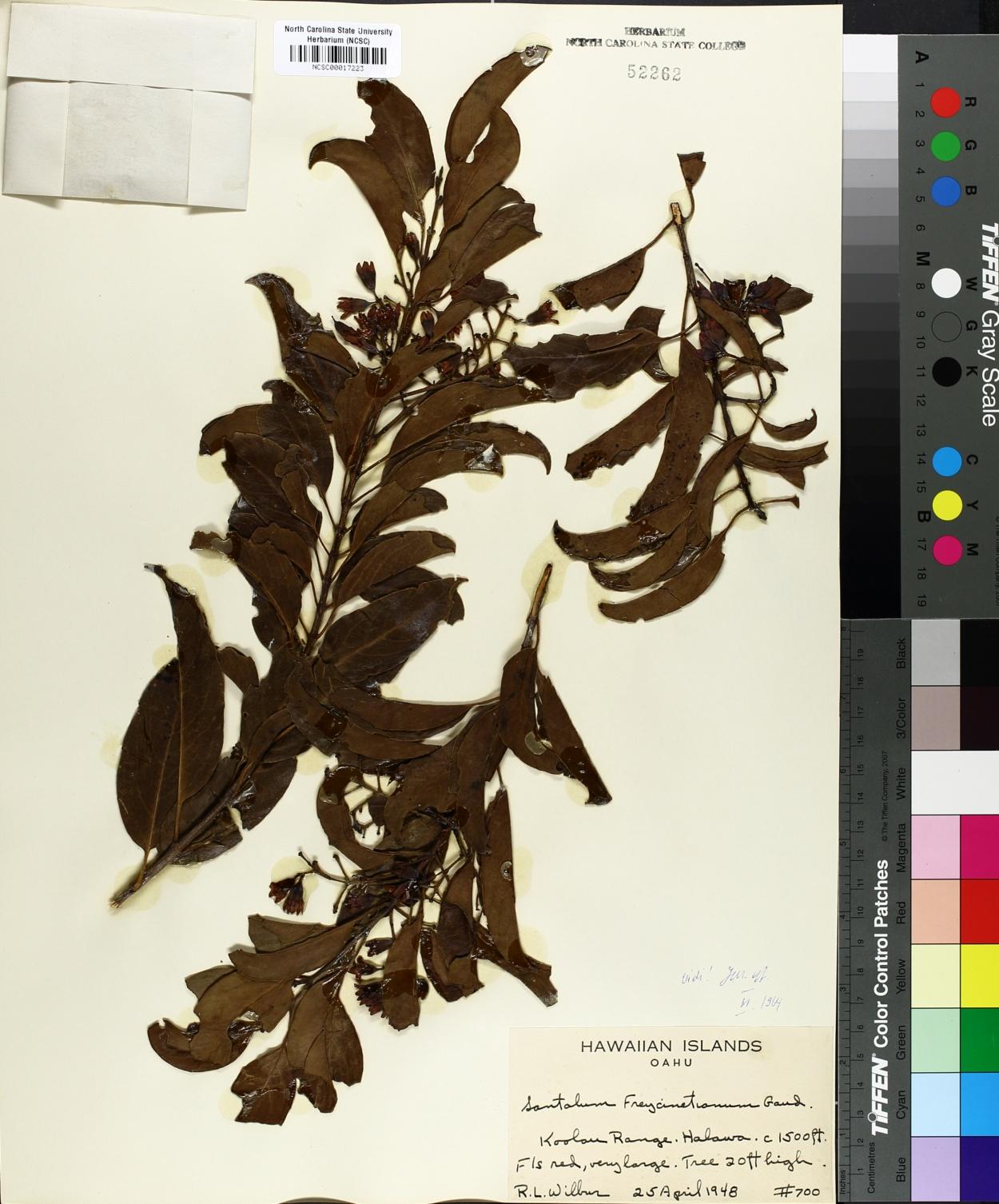 Santalum freycinetianum image