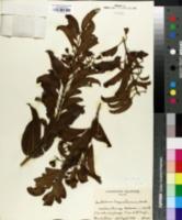 Image of Santalum freycinetianum