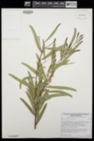 Acacia longifolia image
