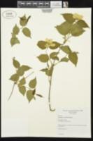 Rhodotypos scandens image