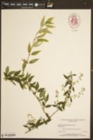 Deutzia gracilis image