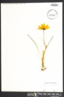 Image of Colchicum autumnale