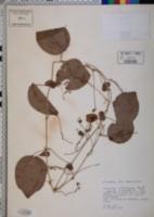 Passiflora membranacea image