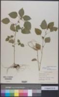 Image of Acalypha setosa
