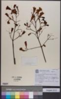 Image of Cuspidaria pulchra