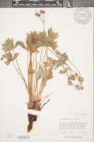 Image of Geranium nervosum