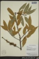 Image of Castanopsis fargesii