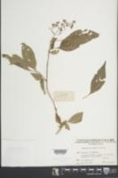 Premna microphylla image