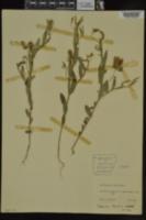 Crotalaria sagittalis image