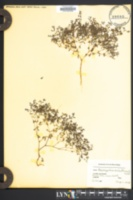 Paronychia dichotoma image