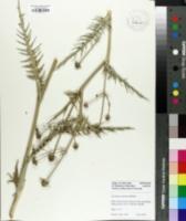 Eryngium venustum image