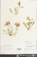 Silene caroliniana var. pensylvanica image