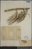 Image of Thrinax keyensis