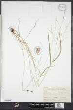Festuca subverticillata image