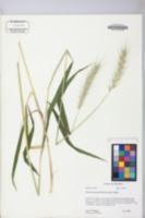 Elymus macgregorii image