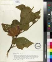 Image of Gossypium raimondii