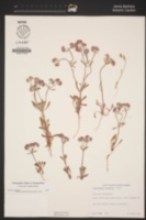 Chorizanthe douglasii image